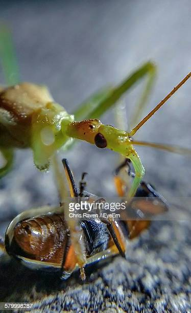 close-up of reduviidae hunting insect - kissing bug stock photos and pictures