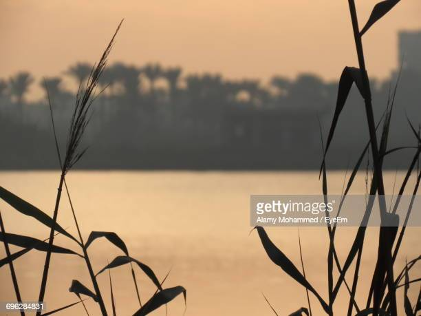 close-up of reed grass against sky during sunset - alamy stock-fotos und bilder