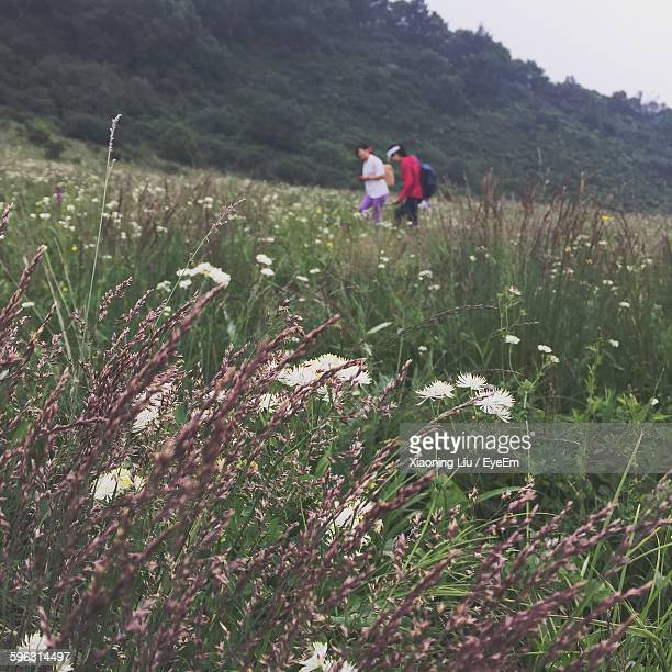 close-up of reed grass in field - liu he stock pictures, royalty-free photos & images