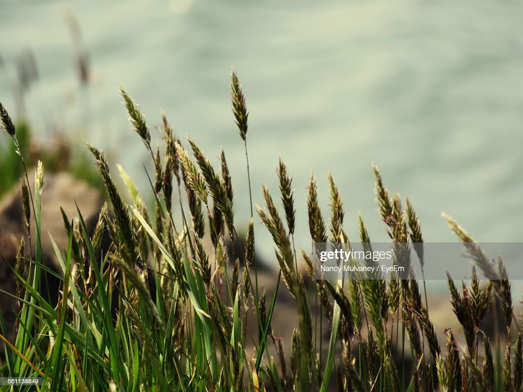 Close-Up Of Reed Grass : Stock-Foto