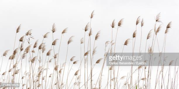 Close-Up Of Reed Grass