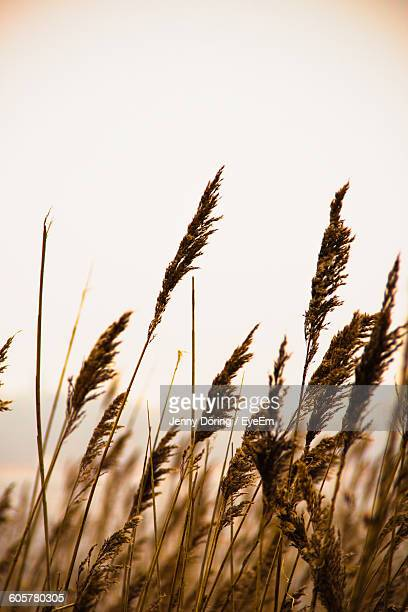 Close-Up Of Reeds On Field Against Sky