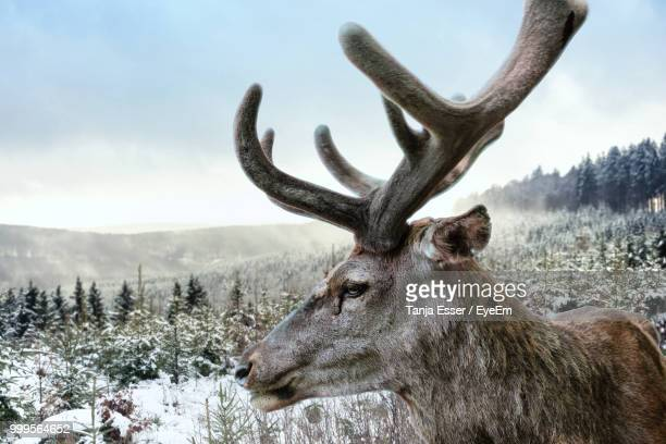 close-up of reindeer on snow covered mountain against sky - rentier stock-fotos und bilder