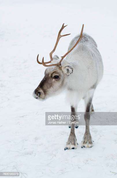 close-up of reindeer standing on snow field - renna foto e immagini stock
