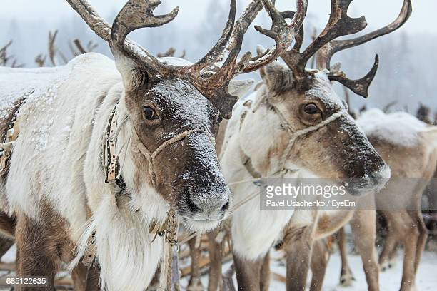close-up of reindeers on snow covered field - reindeer stock photos and pictures