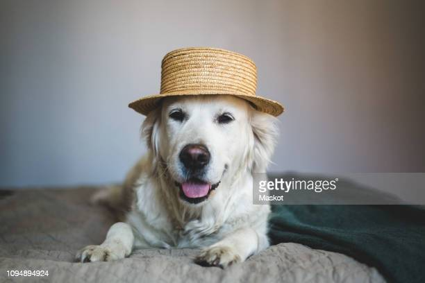 close-up of retriever dog wearing straw boater hat while lying on bed at home - straw boater hat stock pictures, royalty-free photos & images