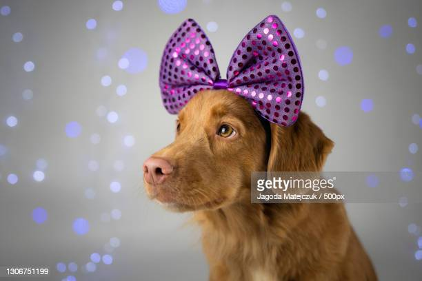 close-up of retriever wearing headband against christmas decoration,poland - nova scotia duck tolling retriever stock pictures, royalty-free photos & images