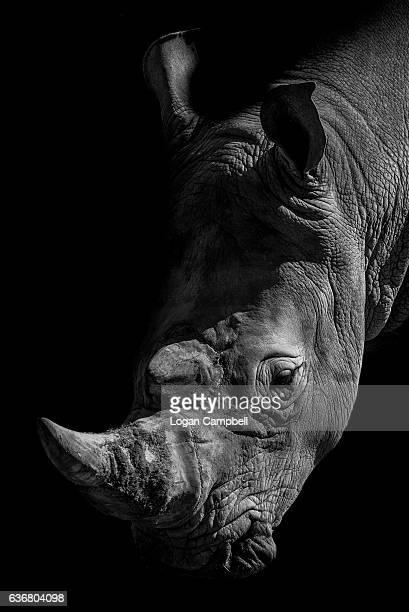 close-up of rhinoceros black background - especies amenazadas fotografías e imágenes de stock