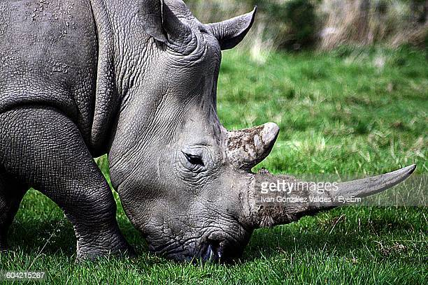 Close-Up Of Rhinoceros Grazing On Field