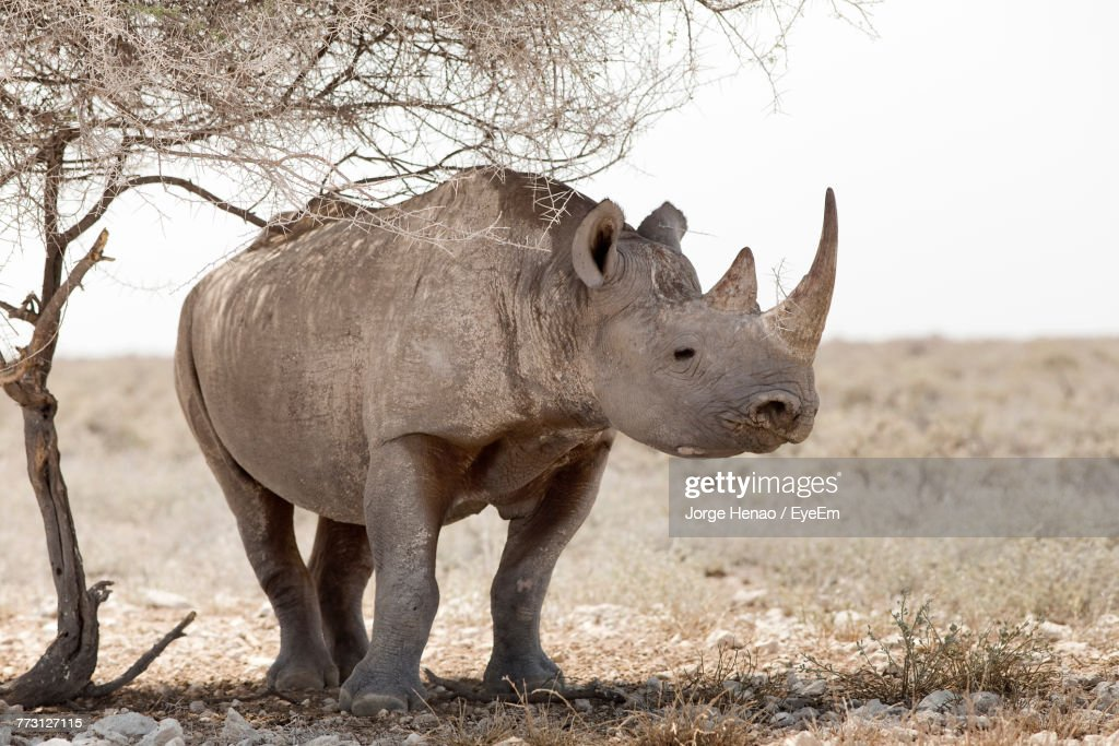 Close-Up Of Rhinoceros Standing On Field Against Sky : Photo