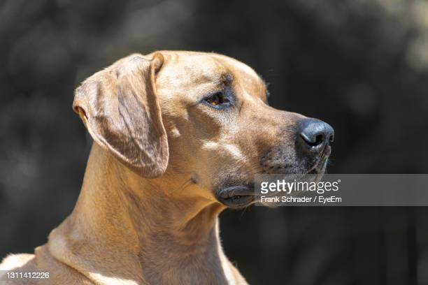 close-up of rhodesian ridgeback sog, a profile head portrait showing a focused, self-confident dog. - frank schrader stock pictures, royalty-free photos & images