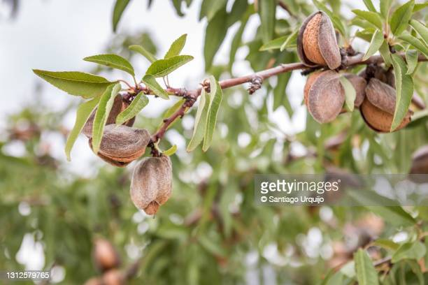 close-up of ripe almonds on tree - ripe stock pictures, royalty-free photos & images