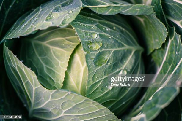 close-up of ripe cabbage with water drops - dorte fjalland stock pictures, royalty-free photos & images