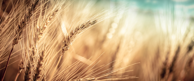 Close-up Of Ripe Golden Wheat 1160053165