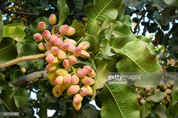 close-up of ripe pistachio on tree - pistachio tree stock photos and pictures