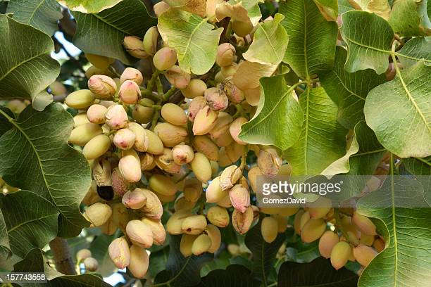 60 Top Pistachio Tree Pictures, Photos, & Images - Getty ...