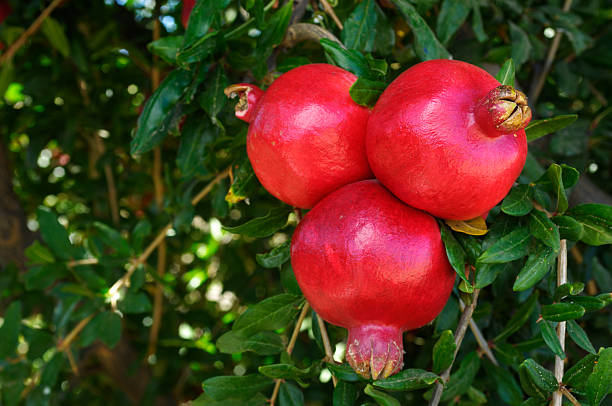 close-up of ripe pomegranates on tree - pomegranate tree stock photos and pictures