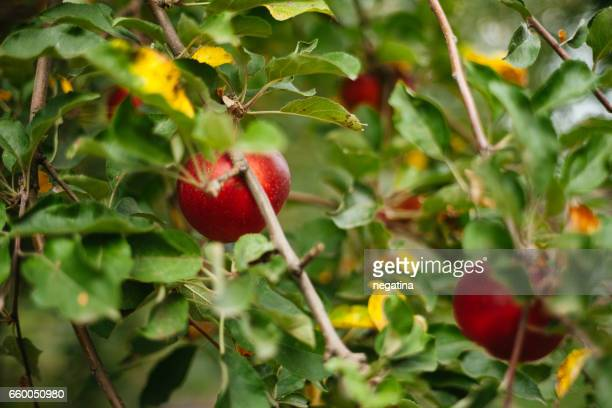 close-up of ripe red apples in the green leaves on the branches