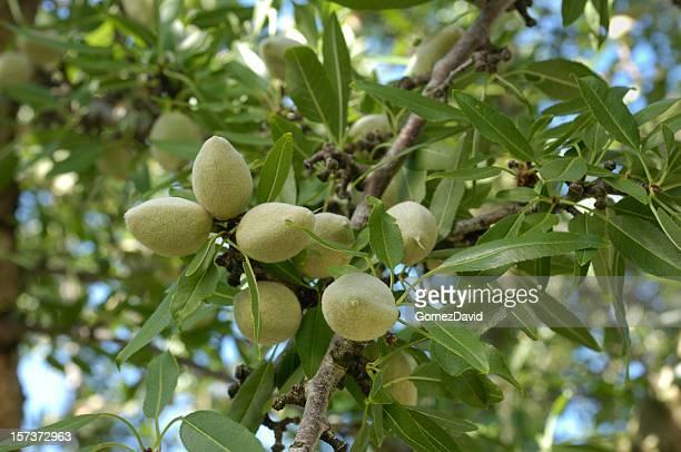 Close-up of Ripening almendras en el centro de California, Orchard