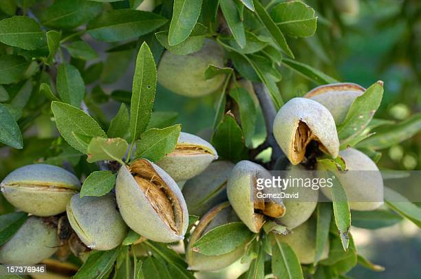 Close-up of Ripening almendras en el centro de California, Orchard