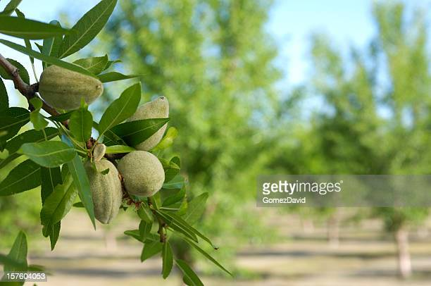 Close-up of Ripening Almonds on Central California Orchard
