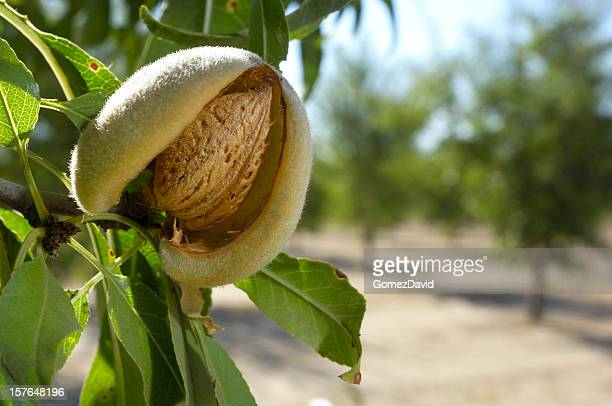 close-up of ripening almonds on central california orchard - orchard stockfoto's en -beelden