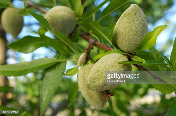 Gros plan de maturité précoce amandes de la Californie centrale Orchard