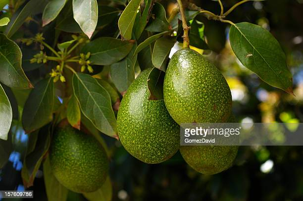 Close-up of Ripening Avacado On Tree