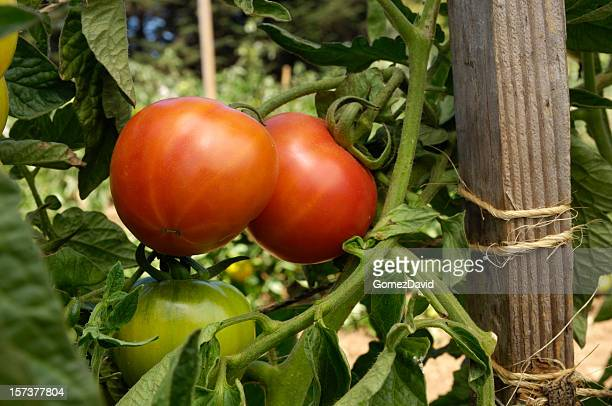 Close-up of Ripening Beefsteak Tomatoes on the Vine
