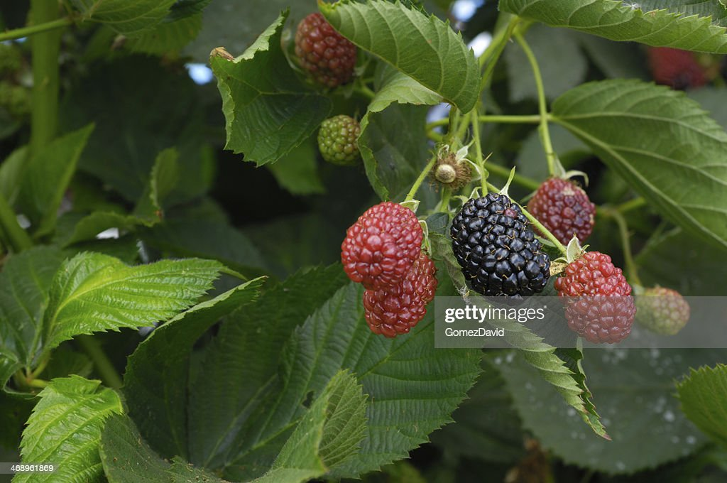 Close-up of Ripening Blackberries on the Vine : Stock Photo