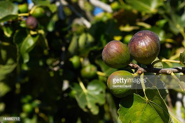 Close-up of Ripening California Figs on Tree