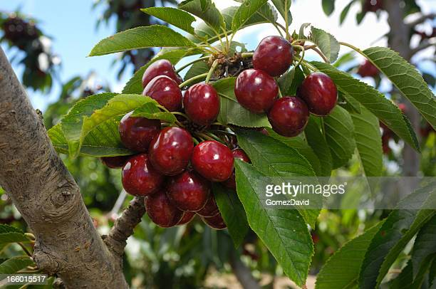 close-up of ripening cherries on tree - ripe stock pictures, royalty-free photos & images