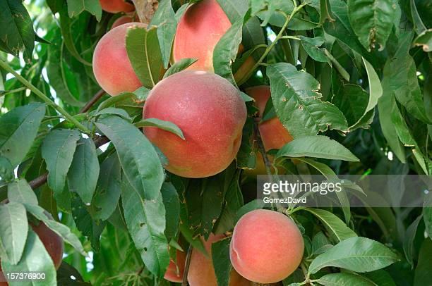 Close-up of Ripening Nectarines on Tree