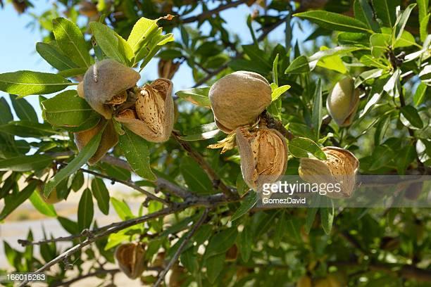 Close-up of Ripening Organic Almonds on Tree