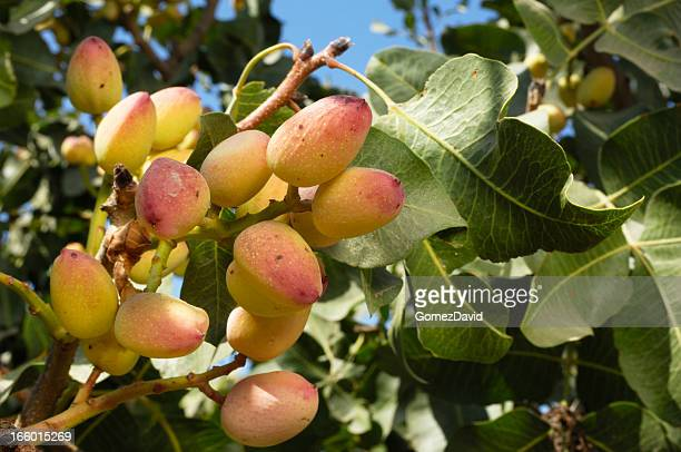 close-up of ripening pistachio on tree - pistachio tree stock photos and pictures