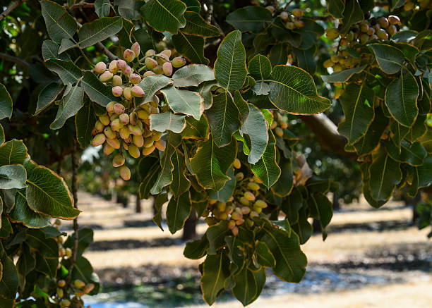 Free pistachio tree Images, Pictures, and Royalty-Free Stock