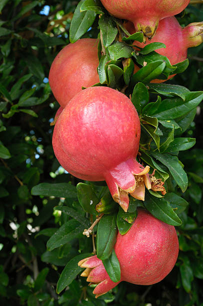 close-up of ripening pomegranates on tree - pomegranate tree stock photos and pictures