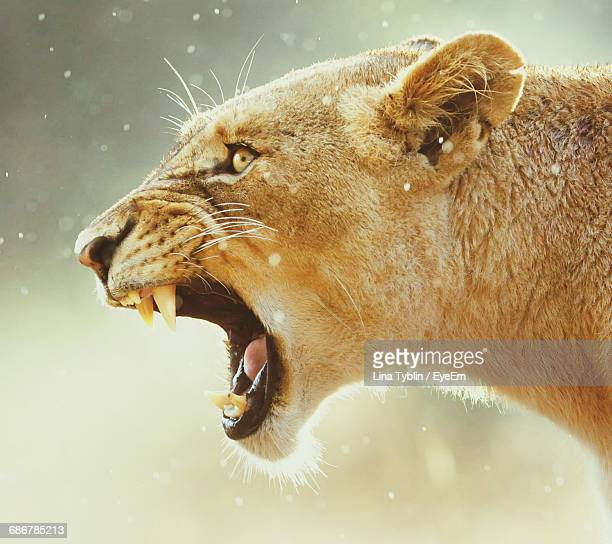 close-up of roaring lioness - lion stockfoto's en -beelden