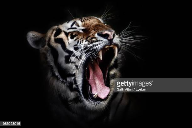 close-up of roaring tiger against black background - tiger stock pictures, royalty-free photos & images