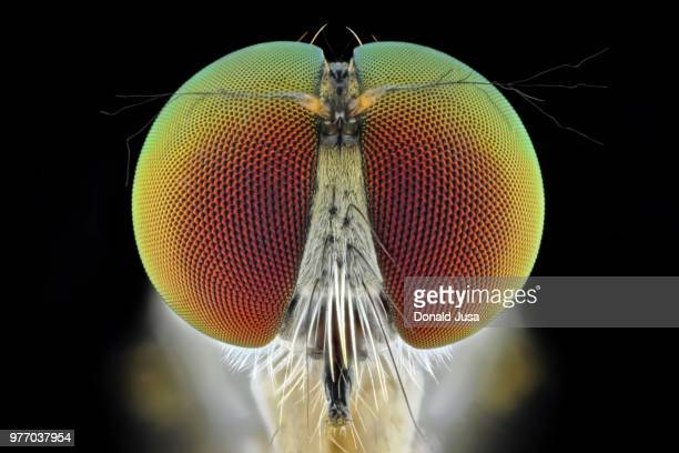 close-up of robber fly (ommatius ouachitensis), kotabangun, east kalimantan, indonesia - animal eye stock pictures, royalty-free photos & images