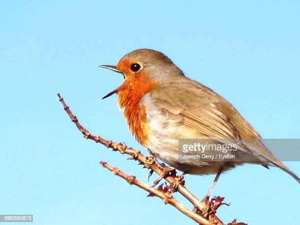 Close-Up Of Robin Against Clear Blue Sky