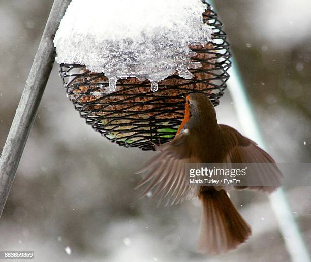 Close-Up Of Robin Bird Perching On Snow Covered Feeder