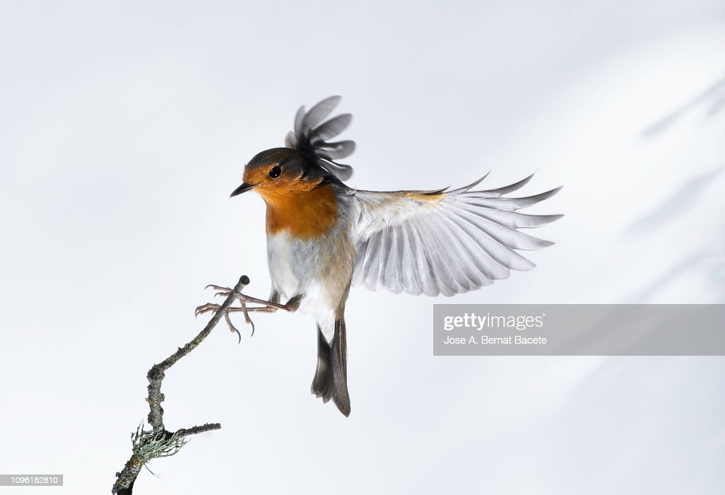 Close-Up Of Robin (Erithacus rubecula), in flight on a white background. : Stock-Foto