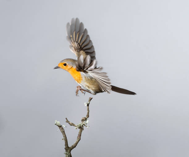Closeup Robin Erithacus Rubecula Flight - Fine Art prints