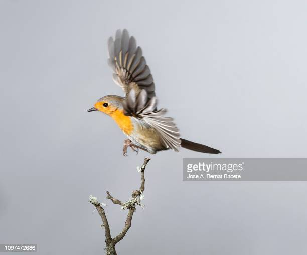 close-up of robin (erithacus rubecula), in flight on a white background. - vogel stock-fotos und bilder