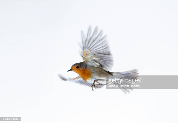 close-up of robin (erithacus rubecula), in flight on a white background. - robin stock pictures, royalty-free photos & images