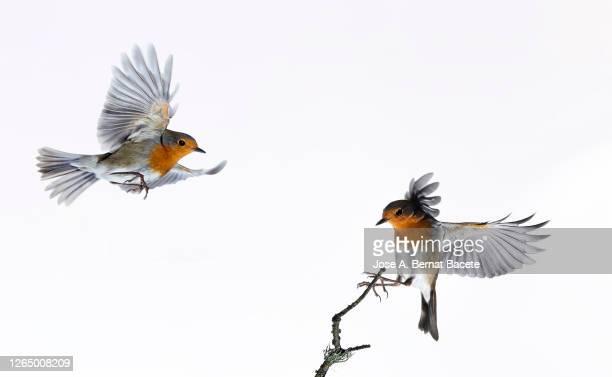 close-up of robin (erithacus rubecula), in flight on a white background. - pájaro fotografías e imágenes de stock