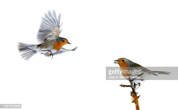 close-up of robin (erithacus rubecula), in flight on a white background. - two animals stock pictures, royalty-free photos & images