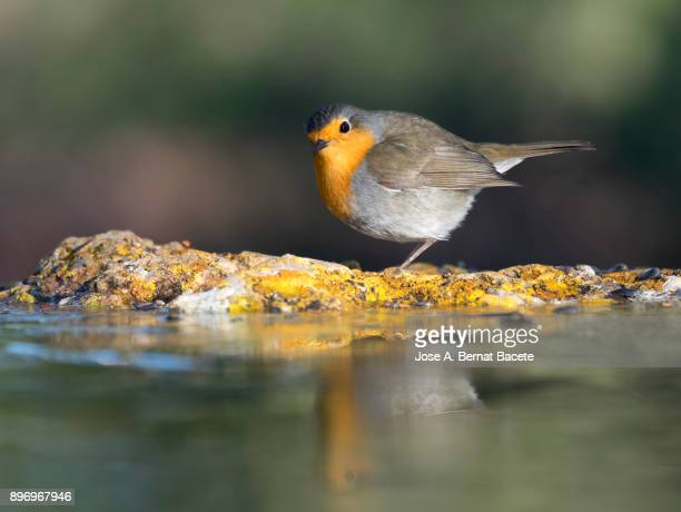 Close-Up Of Robin (Erithacus rubecula), on a stone inside a water puddle eating and drinking with his reflection inside the water  in the field on a green background.  Spain, Europe.