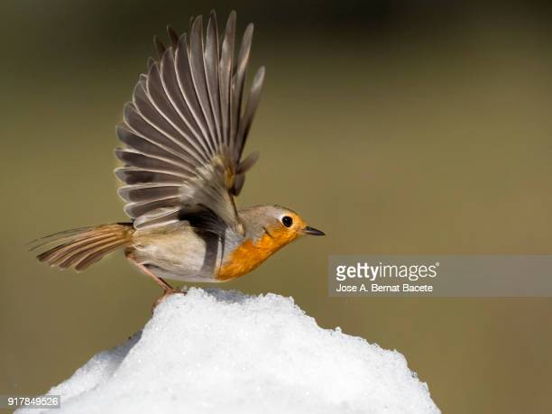 close-up of robin (erithacus rubecula), on the snow in winter, opening the wings in movement to go out flying. spain, europe. - songbird stock pictures, royalty-free photos & images